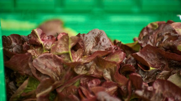 Blog LfB1 lettuce